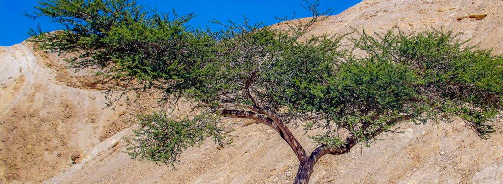 Wüstenwanderung- Negev Baum
