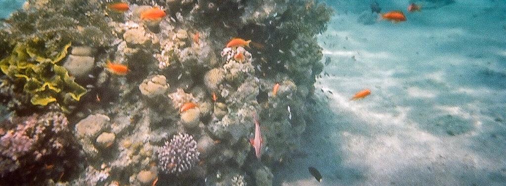 eilat tauchen Korallen
