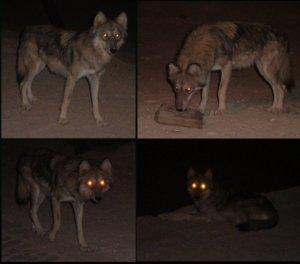 der Arabische Wolf im Negev.