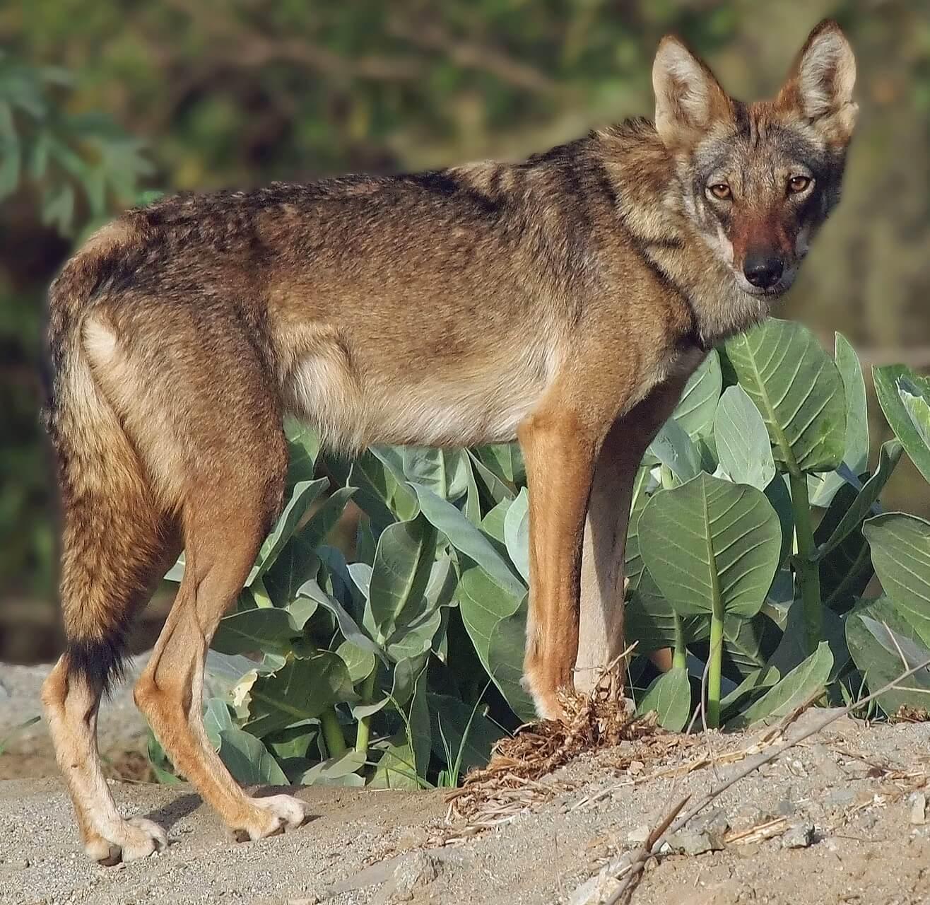 Israelabenteurer Arabische Wolf Israelabenteurer