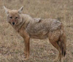 Afrikanische Goldwolf