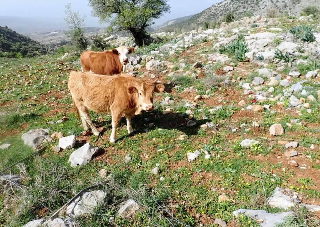 Kühe am Har Hermon