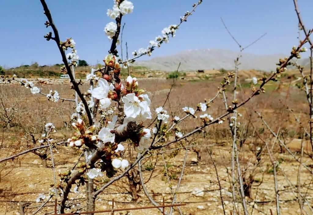 Kirschblüte im Golan